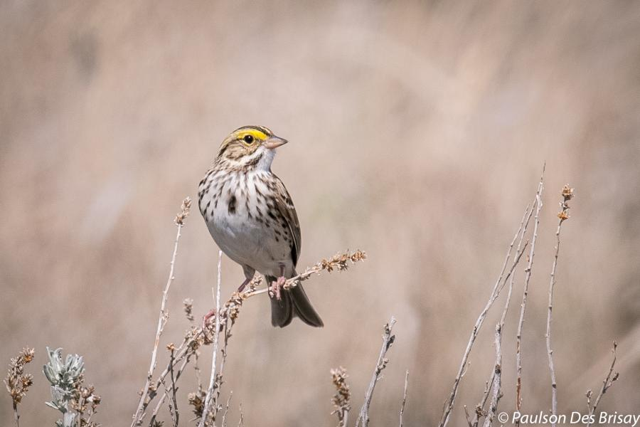 A savannah sparrow