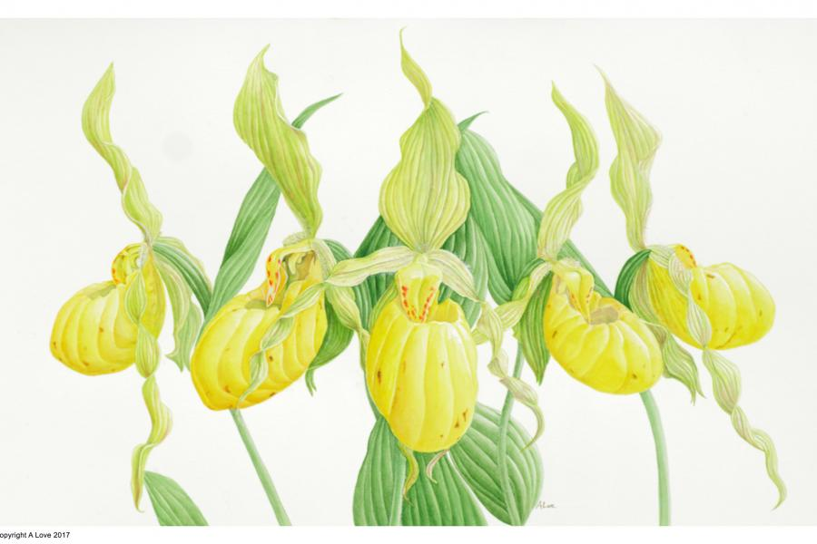 Lady Slipper Orchids by Ann Love, one of 48 works of botanical art on display now at the Canadian Museum of Nature in Ottawa. Lady slipper orchids are a native perennial wildflower found across Canada.