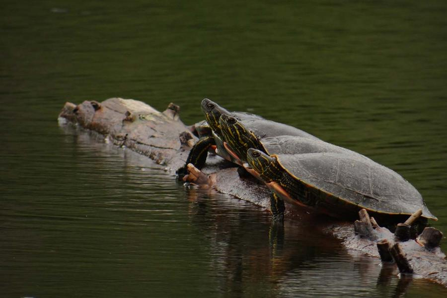Three painted turtles sunning on a log