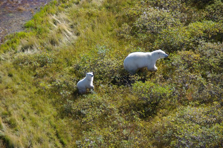 Polar bear and cub on green tundra