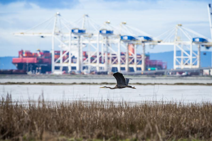 a great blue heron skims across the water, with Roberts Bank port in the background;