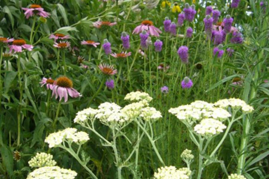 Yarrow, echinacea, prairie clover, and ratibida are effective at attracting butterflies.