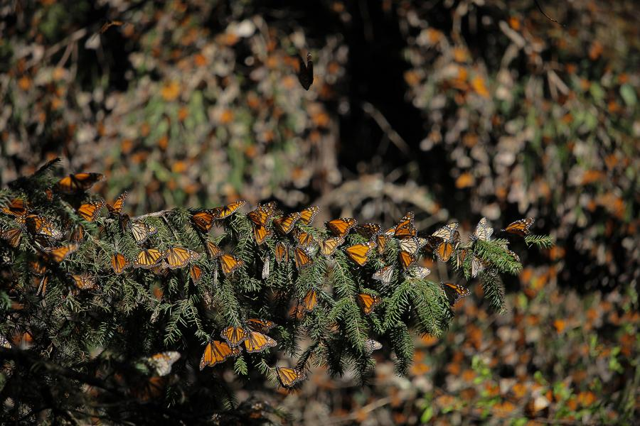 Monarch butterflies cling to a fir tree in the Monarch Butterfly Biosphere Reserve
