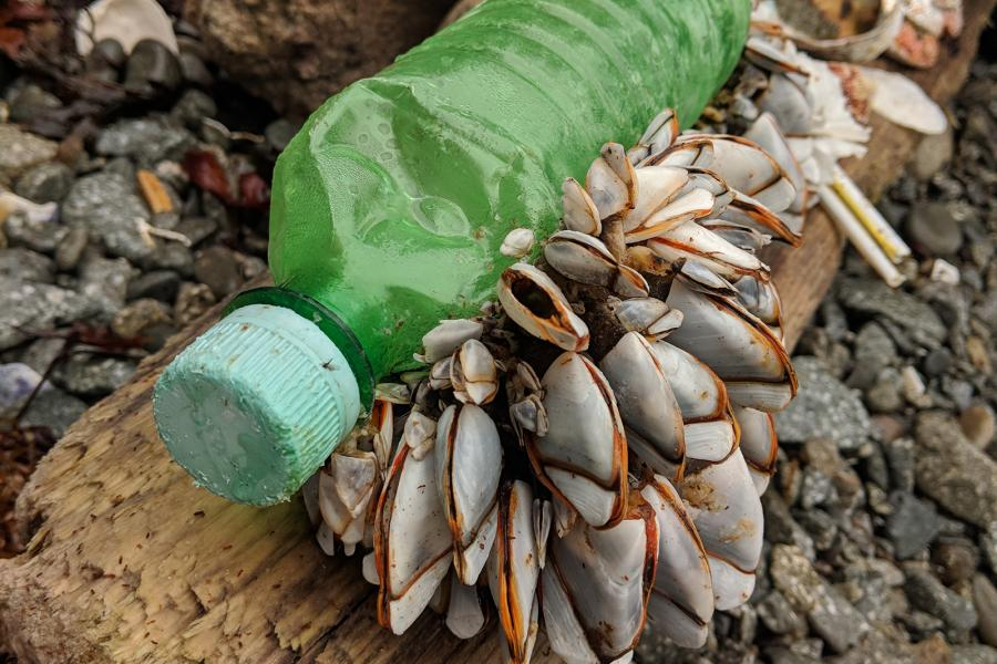 Barnacles cling to a plastic bottle washed up on a beach in Haida Gwaii