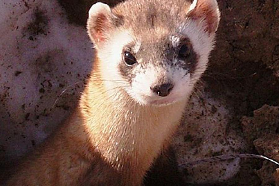The black-footed ferret could soon be considered a comeback story