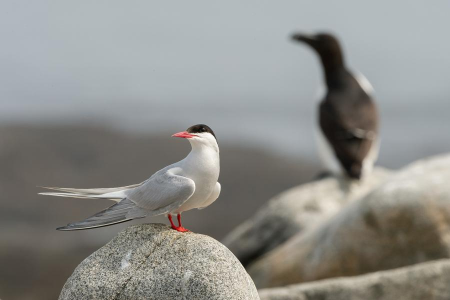 Arctic tern on Machias Seal Island, New Brunswick