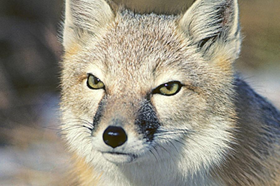 The swift fox