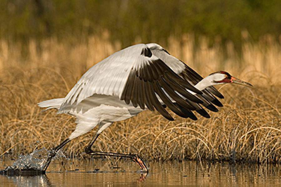 Although its numbers were perilously low 70 year ago, the whooping crane has bounced back