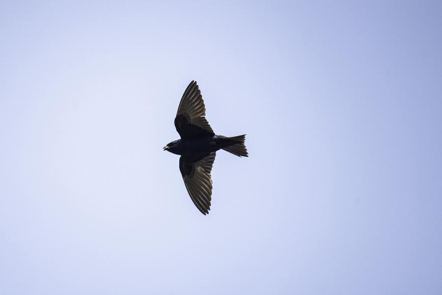 A purple martin silhouetted in flight against a blue sky