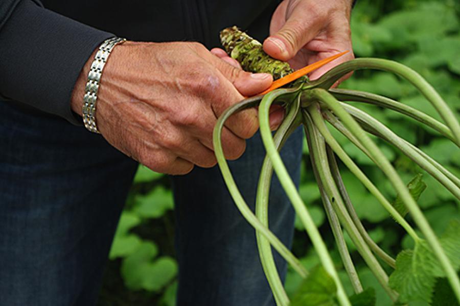 Wasabi grows in greenhouses in Nanoose Bay, B.C.