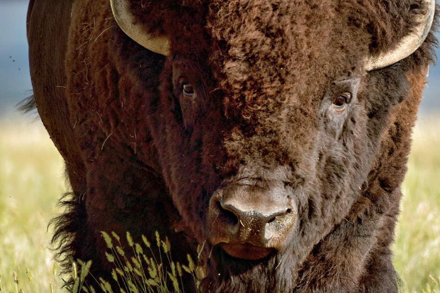 Cover vote, July/August issue, bison, grasslands