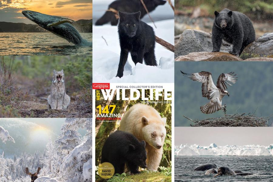 a collage of wildlife photos including whales, wolves, black bears, kermode bears and moose