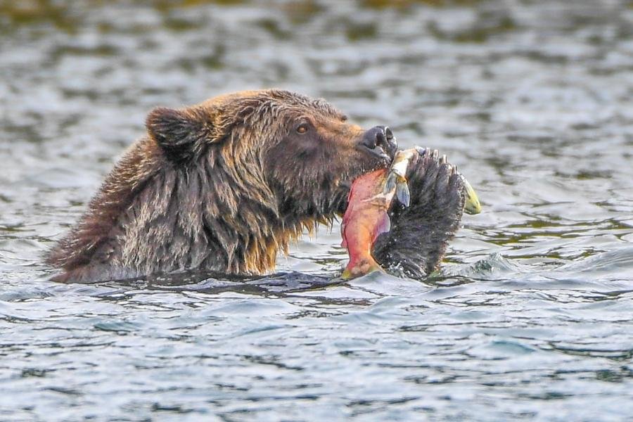 Grizzly bear feeding on salmon in Chilko River