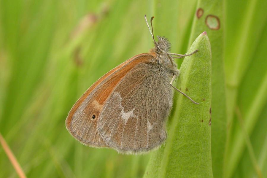 Maritime ringlet - a Canadian endemic found in only a few populations around the Baie des Chaleurs and Gaspesie.