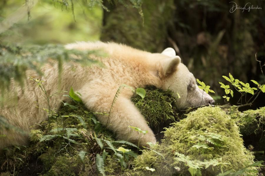 spirit bear asleep
