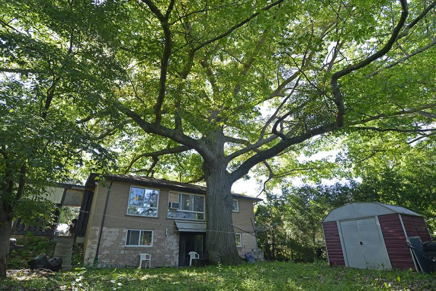 Zhelevo oak tree Toronto