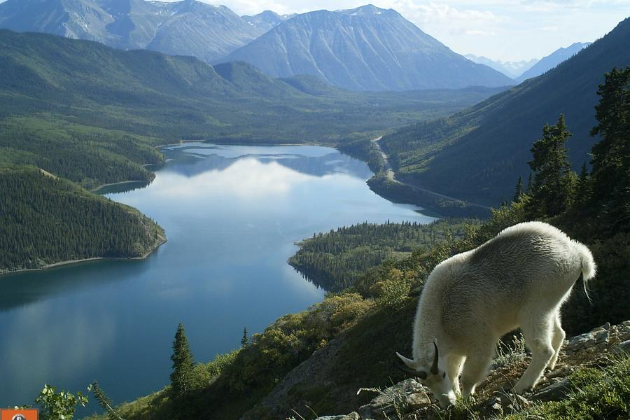billy goat overlooking a lake
