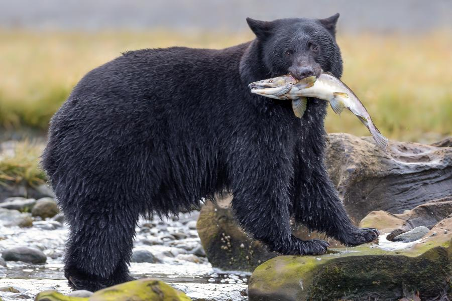 A bear stands in a creek with a fish in its mouth