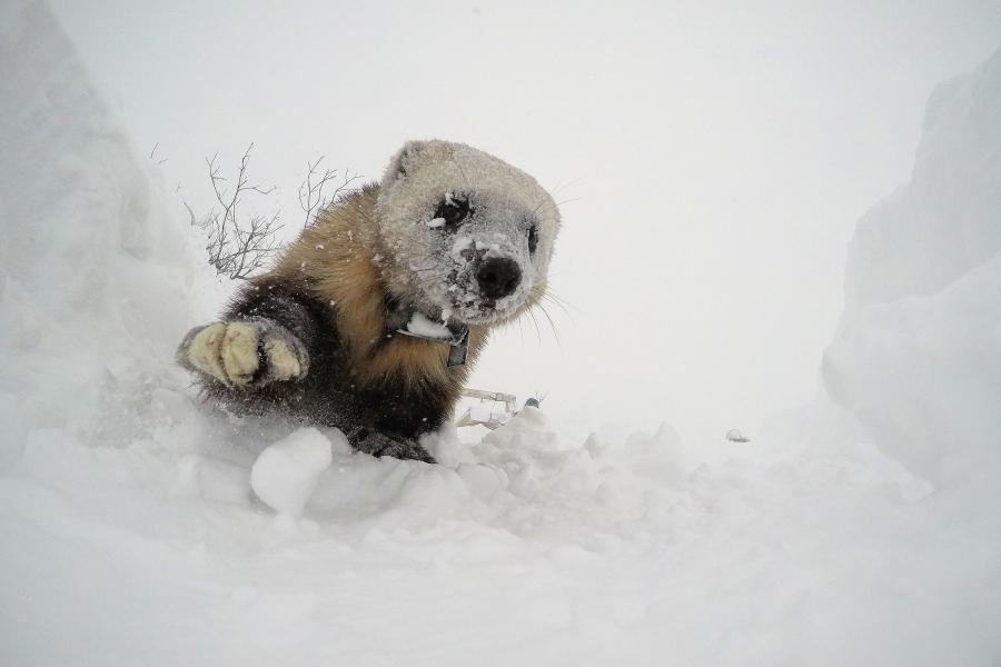 A wolverine crawls through snow