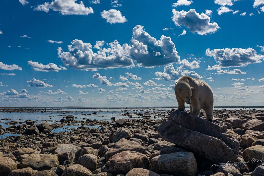 Polar bear Hudson Bay coast