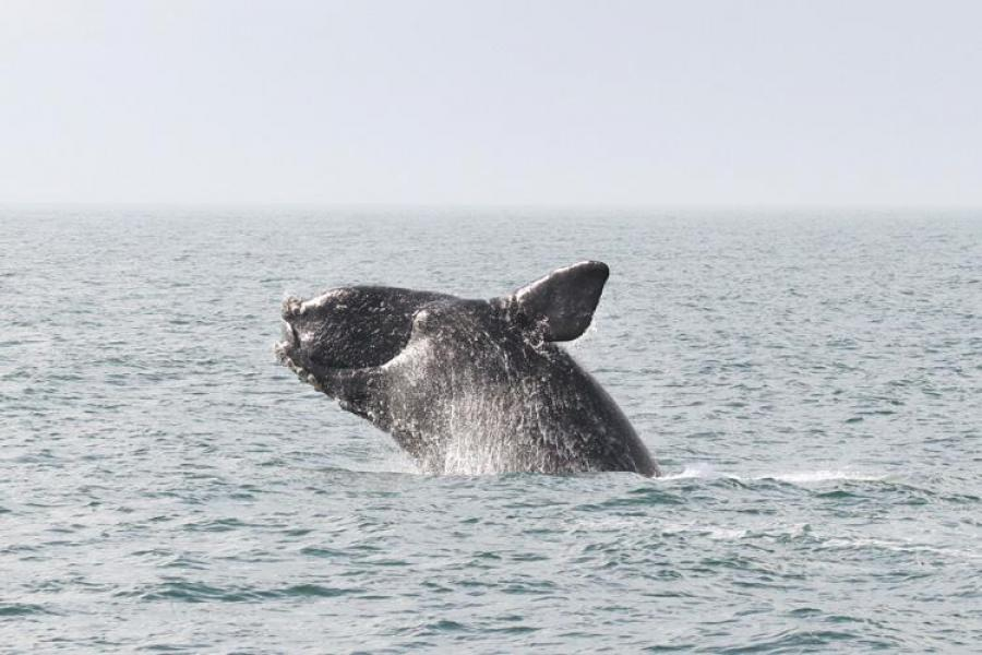 A whale's tail fin can be seen above the water