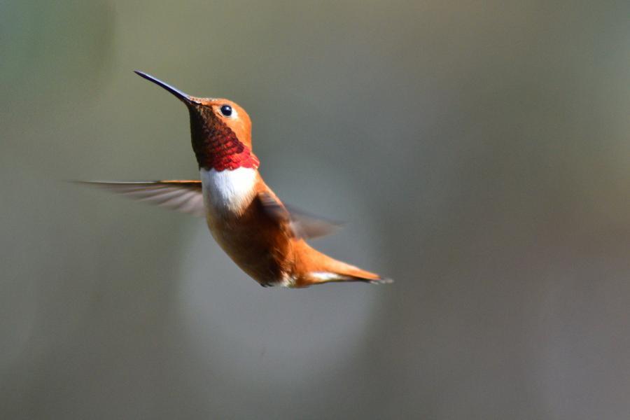 A rufous hummingbird flying