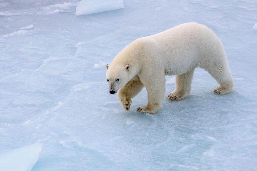 Polar bear walking across ice