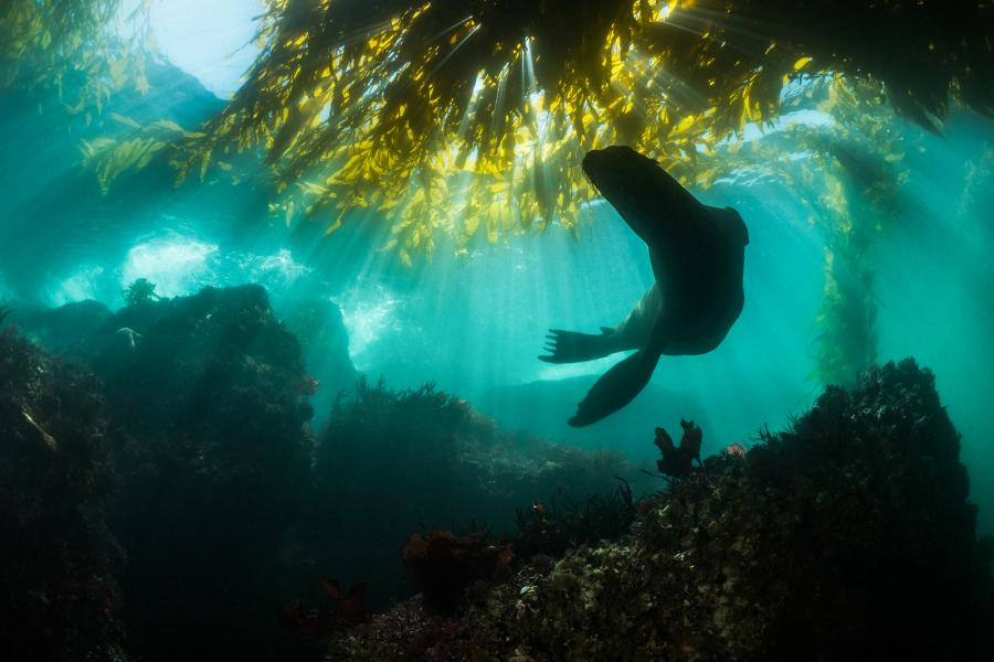 Sea lion swimming among a kelp forest