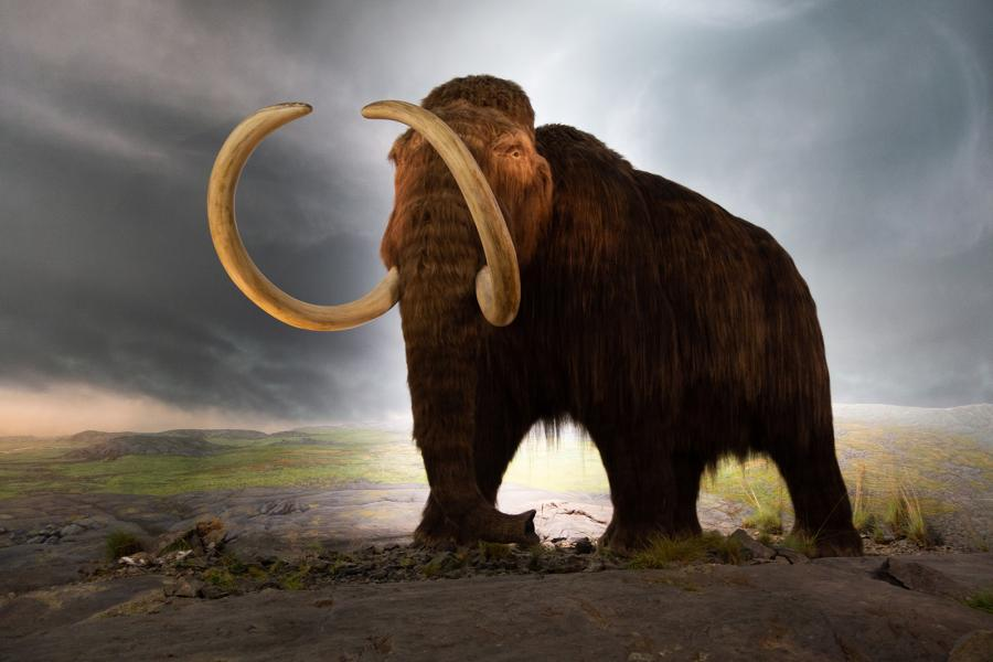 A model of a woolly mammoth at the Royal BC Museum in Victoria