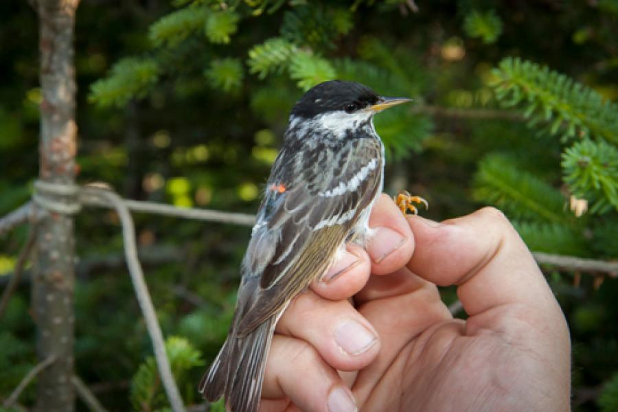 The blackpoll warbler. (Photo: Vermont Center for EcoStudies)