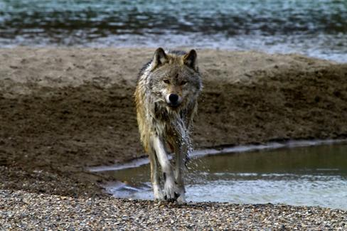 A wolf next to British Columbia's Columbia River. (Photo: Domenico Battaglia/CG Photo Club)