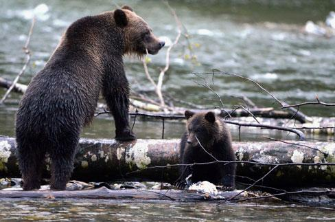 Grizzlies in the Great Bear Rainforest.
