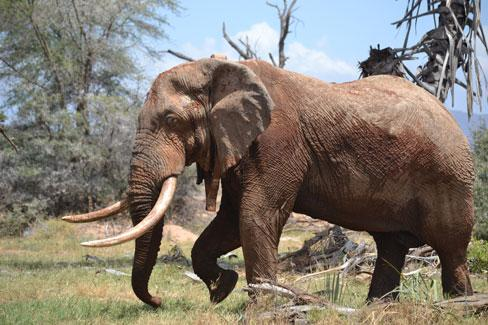 This bull elephant is being closely monitored in Northern Kenya and is wearing a satellite GPS collar