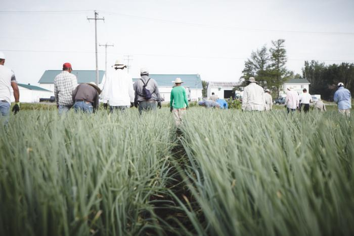 Workers walking side by side to weed an onion field. (Photo: Rodolphe Poulin)