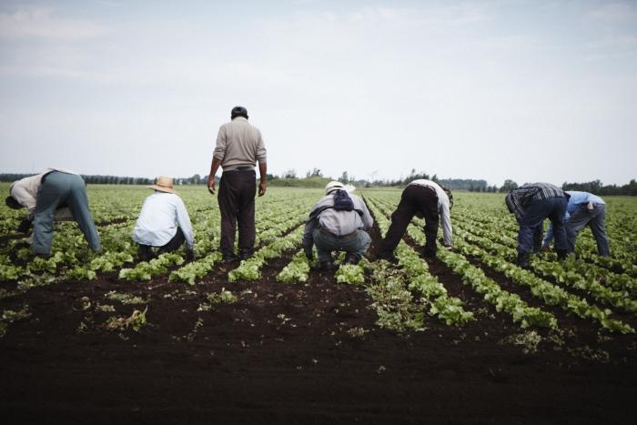 Workers weed a lettuce field in Saint-Remi, Quebec. (Photo: Rodolphe Poulin)