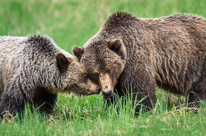 A mother grizzly bear nuzzles her 2.5 year old cub near Mount Robson Park in early June.  (Photo: Murray O'Neill)