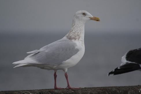 A glaucous gull. (Photo: Alastair Rae/Wikimedia Commons)