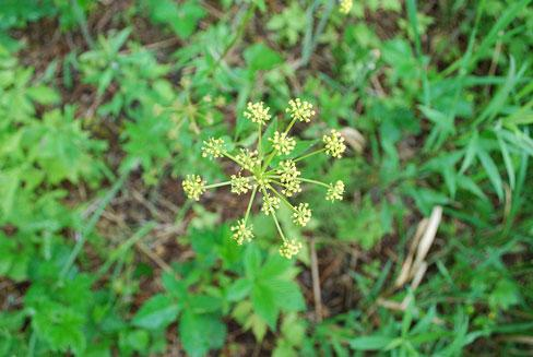 Wild parsnip from above. (Photo: Joshua Mayer/Wikimedia Commons)