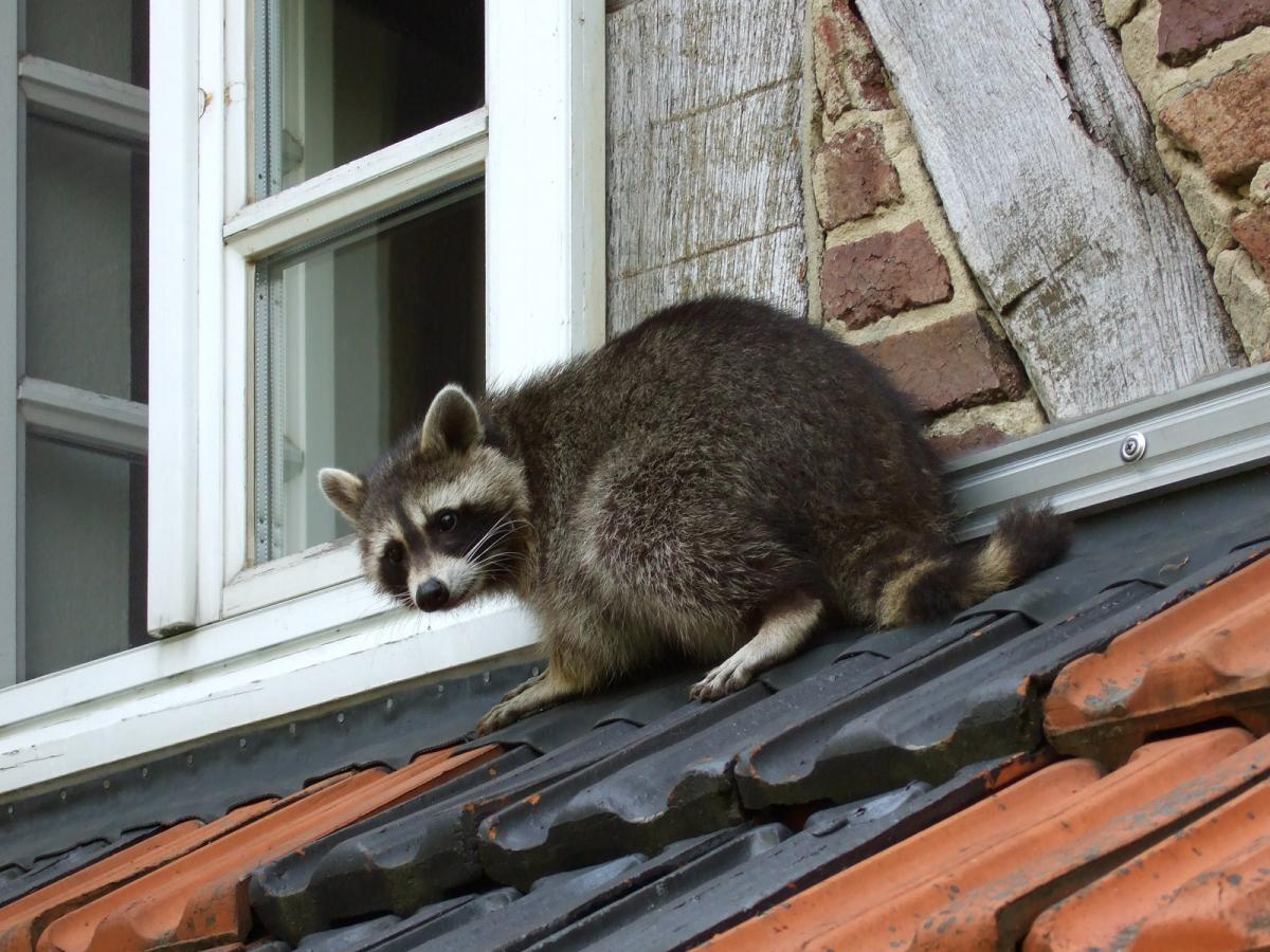 A raccoon on the roof of an apartment in Germany (Carsten Volkwein/Wikimedia Commons)