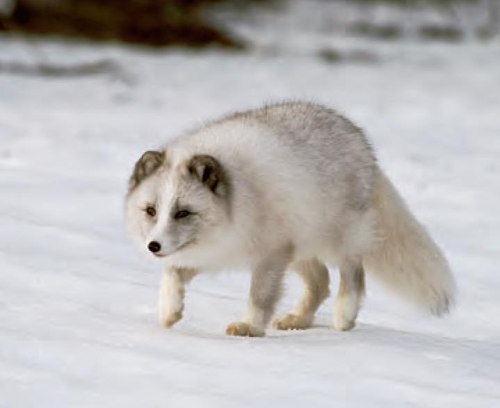 Animal Facts: Arctic Fox