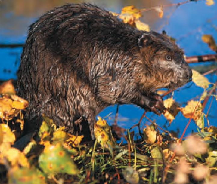 Animal Facts Beaver Canadian Geographic