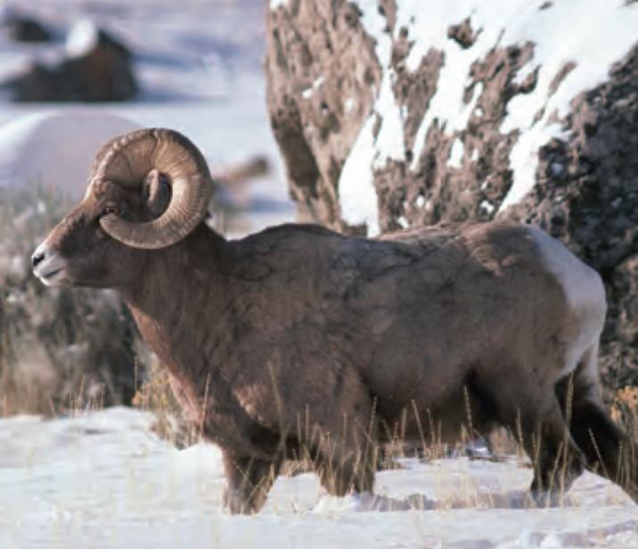 Ram Big Horn >> Animal Facts: Bighorn sheep | Canadian Geographic
