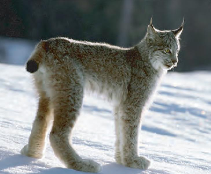 Animal Facts: Canada Lynx | Canadian Geographic