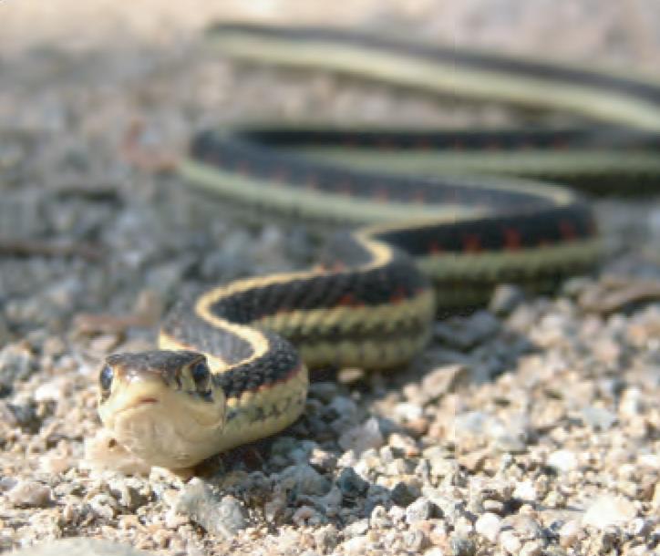 Animal Facts Common Garter Snake