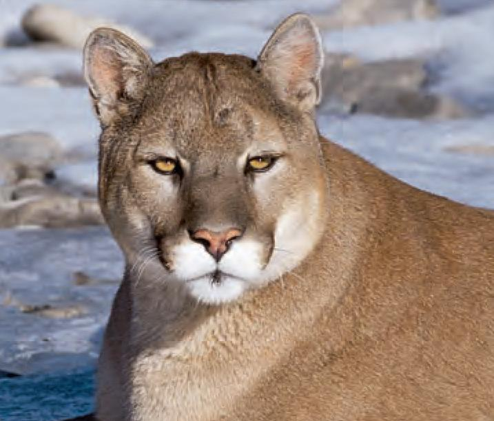 animal facts cougar canadian geographic