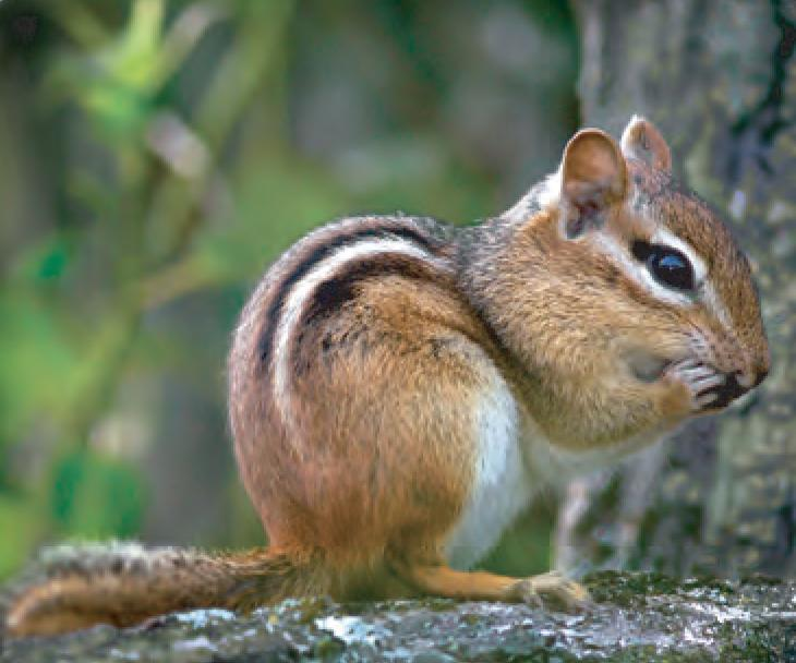 Chipmunk Facts For Kids
