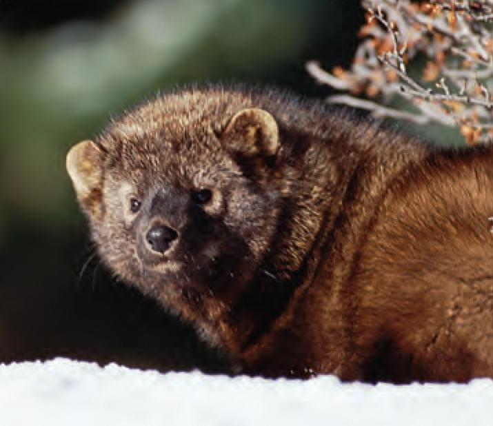 Animal Facts Fisher Canadian Geographic