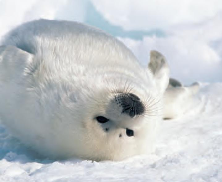 Image of: Kids Animal Facts Harp Seal Canadian Geographic Animal Facts Harp Seal Canadian Geographic