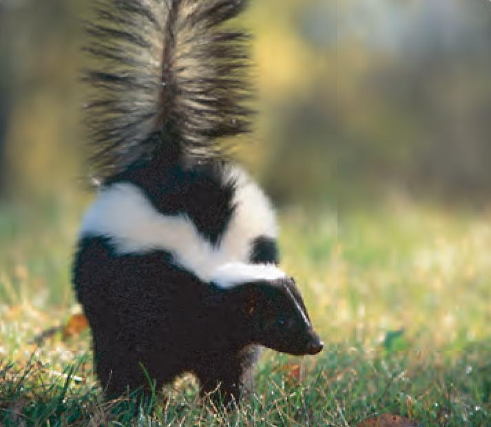 Animal Facts: Striped skunk | Canadian Geographic