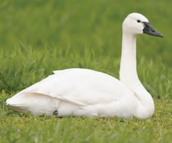 animal facts tundra swan canadian geographic